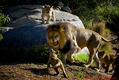 Lion Family Dynamics