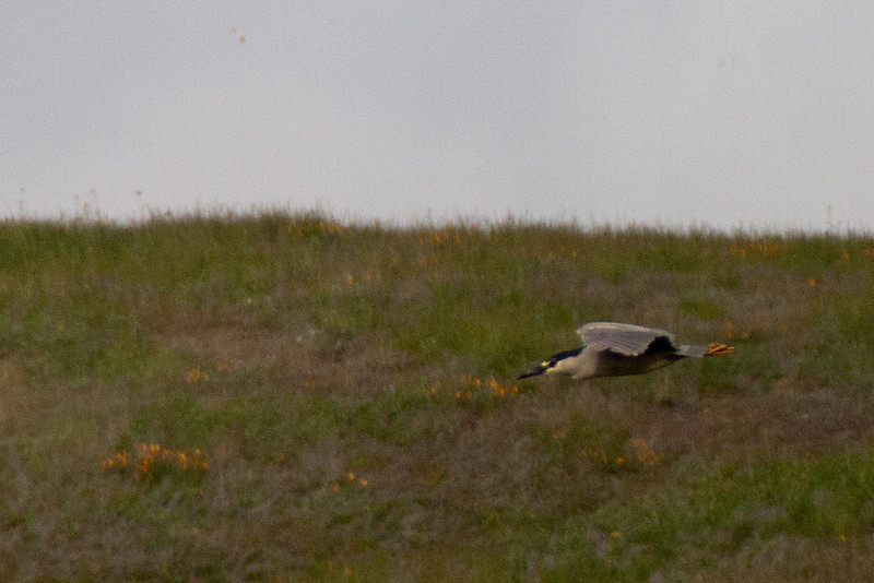 Night Heron 3: (Nycticorax nycticorax), watching the terrain change  [see Night Heron 1 for explanation]