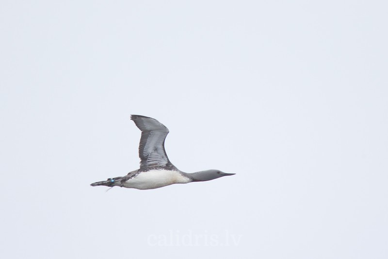 Red-throated Diver in flight
