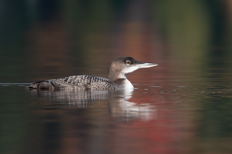 #1541 Common Loon Chick