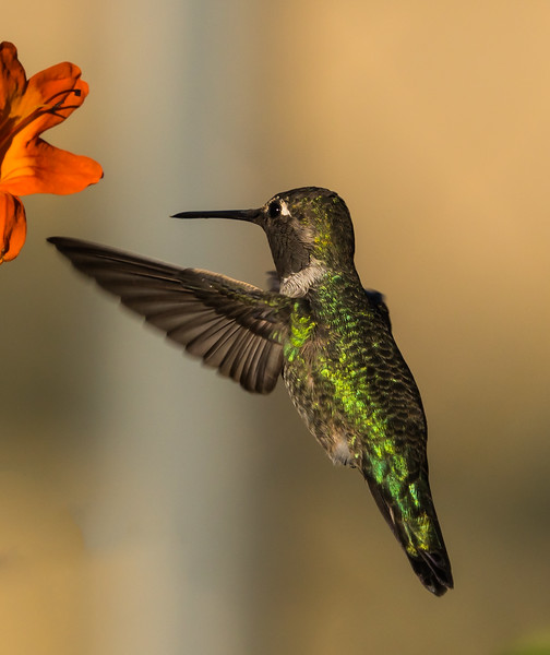 Humming Bird II