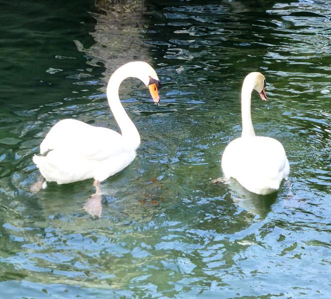 Day8-Swans.jpg