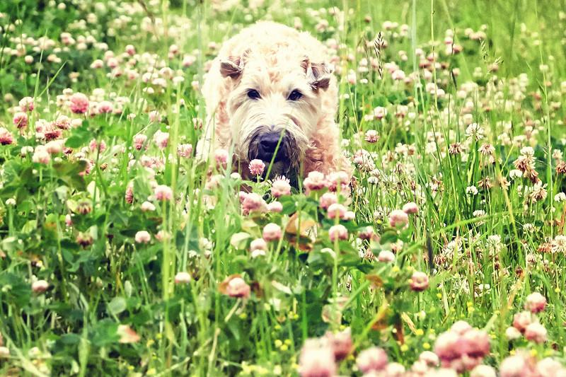 Olive-pinkflowers-2-AF2A0525_.jpg