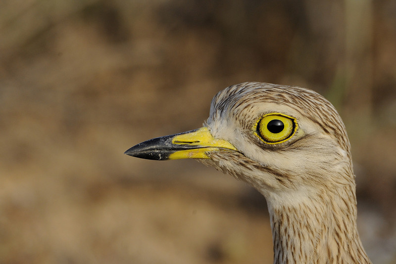 Stonecurlew