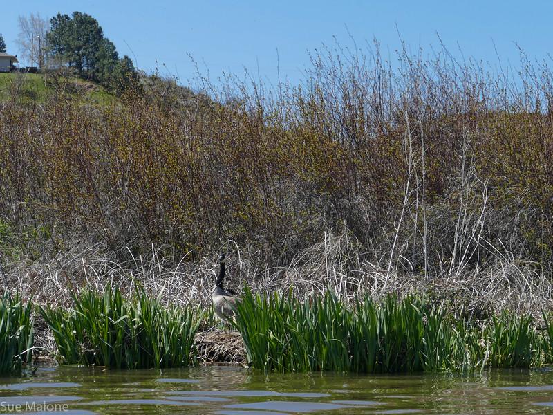 Forsters Tern (5 of 41).jpg