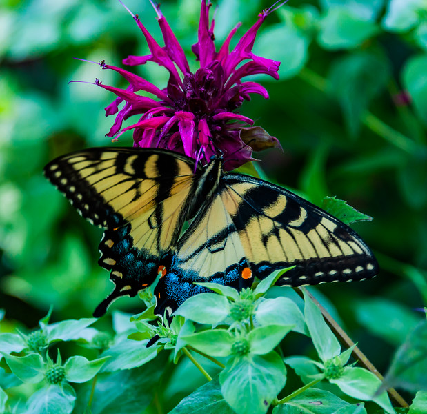 Swallowtail Butterfly on Bee Balm
