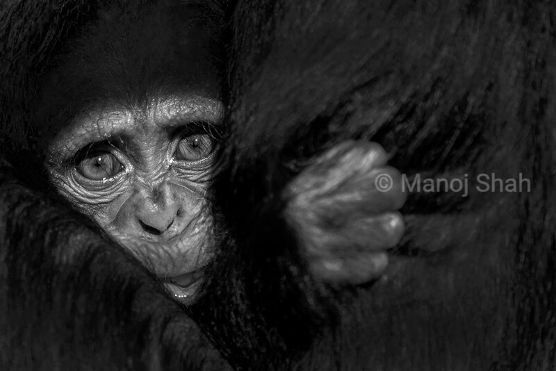 At the Ol Pejeta Chimpanzee Sanctuary, Kenya, a 4 month old chimpanzee baby clung tightly to its mother. After many days it finally dared to show its face to me. Curious but scared, this baby's raw emotion made me question human's interference with nature. A baby born in captivity, never knowing what it is to be free; trusting its fate in the hands of the humans. The baby's behavior drew me closer to it and it's mother- the large eyes were so captivating. The hands clinging to the mother's fur creating partings brought out the texture of her black fur.