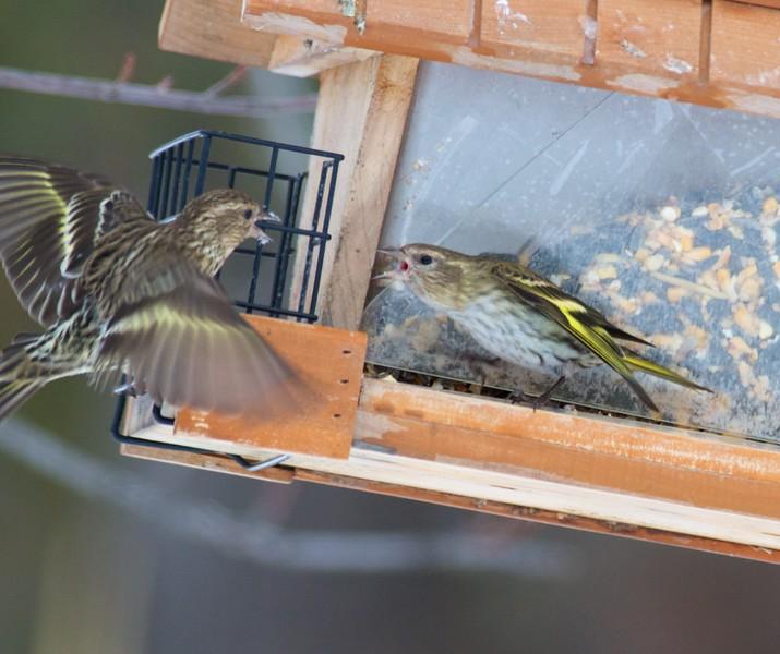 Pine Siskin Mary Lou's feeders CR444 Sax-Zim Bog MN IMG_3731.jpg