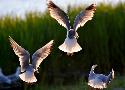 Lokkeja   Måsar    Seagulls