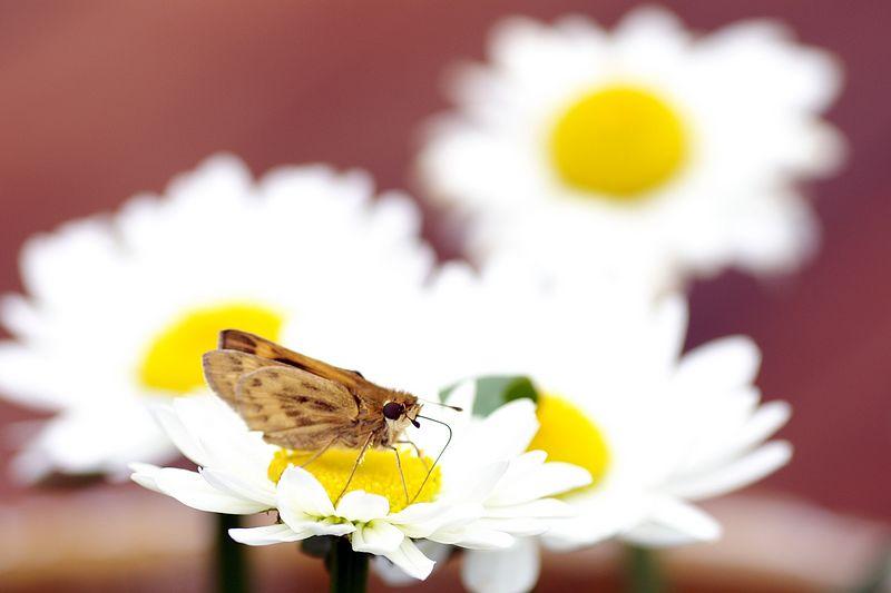 2005 Butterfly on daisy