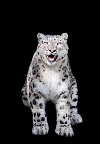 Hissing Snow leopard mother