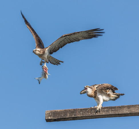 Ospreys  Kingscliff NSW