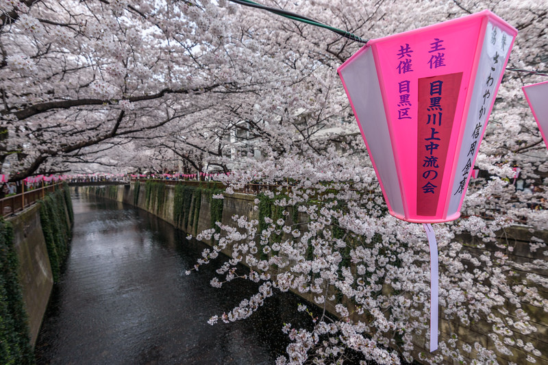 Meguro River under blossoms