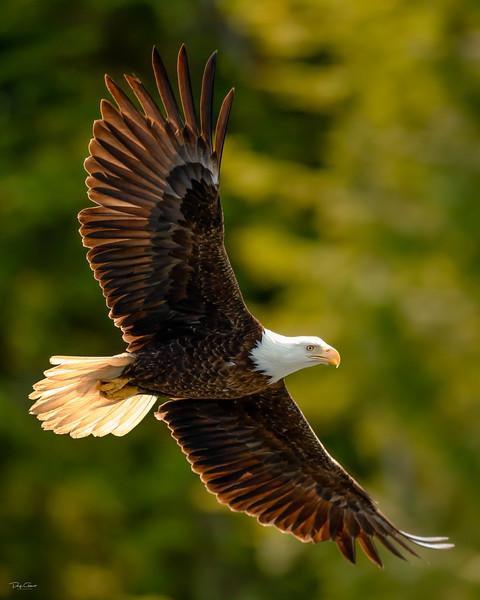 """Alaskan Sea Gull"""