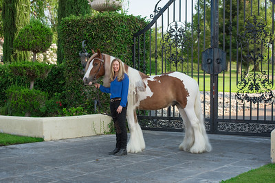 Excalibur Elite Equine's Entertainer, Gypsy Gelding