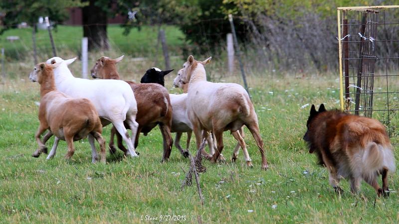 2015.9.27 Herding at Bonnies (35).JPG
