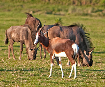 Antilopes and wildebeest
