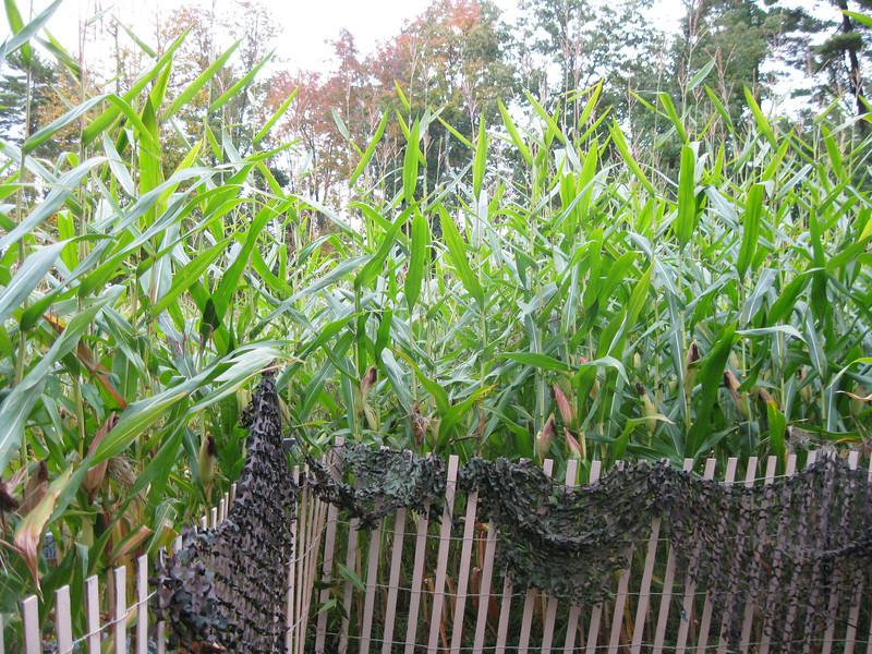 Inside the corn maze.