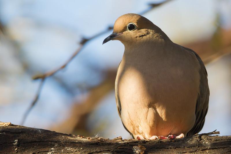 Mourning Dove - Salton Sea, CA, USA