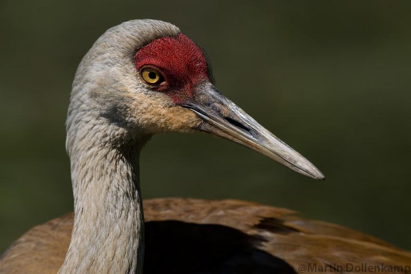 Sandhill Crane Reifel Bird Sanctuary