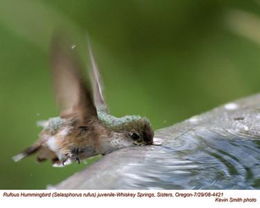 RufousHummingbirdJ4421.jpg