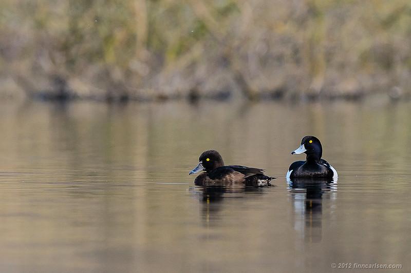 Troldand (Aythya fuligula - Tufted Duck), par, Store Kalv, Furesøen - april 2012