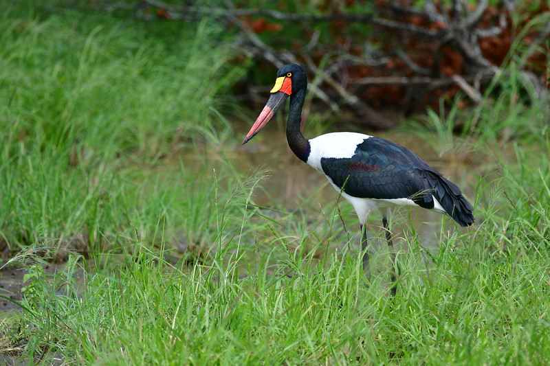 Female Saddle-billed Stork
