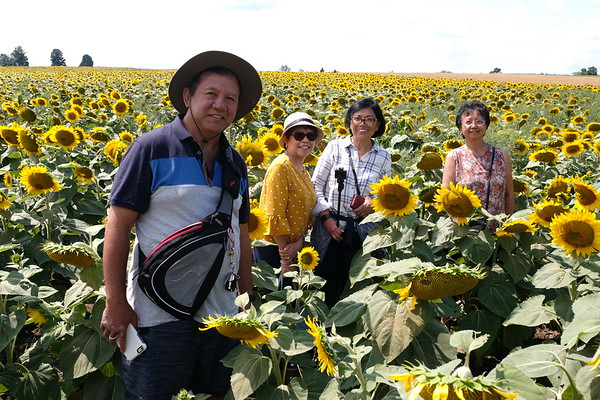 Sunflowers at Davis Family Farm at Caledon East