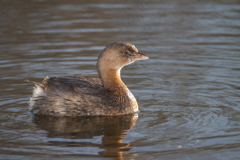 Grebes (Policipedidae)