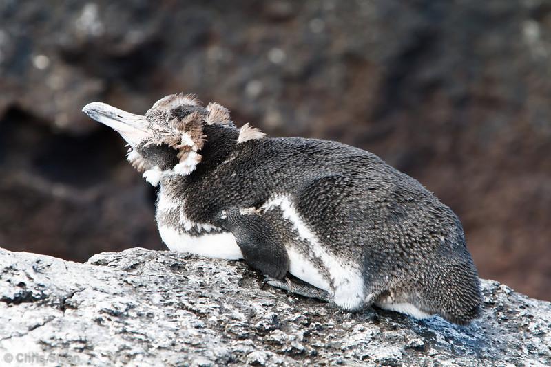 Galapagos Penguin at Punta Moreno, Isabela, Galapagos, Ecuador (11-23-2011) - 130.jpg