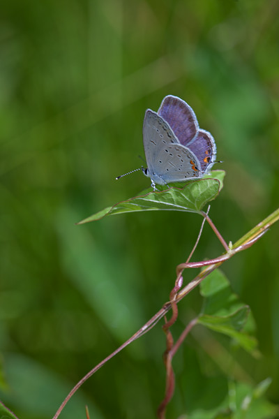 Eastern Tailed-Blue,  Big Foot F5.6,  T32 fill