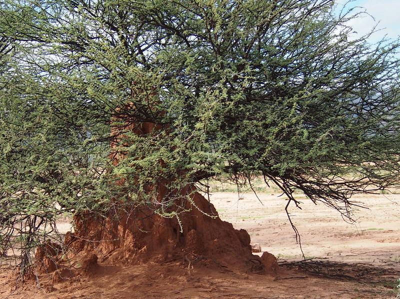 P3281192-termite-mound.JPG