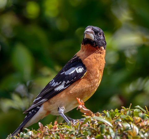 Black Headed Grosbeak