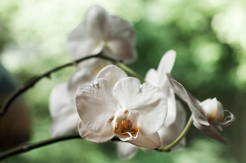 Spring Orchid 2011-1.jpg
