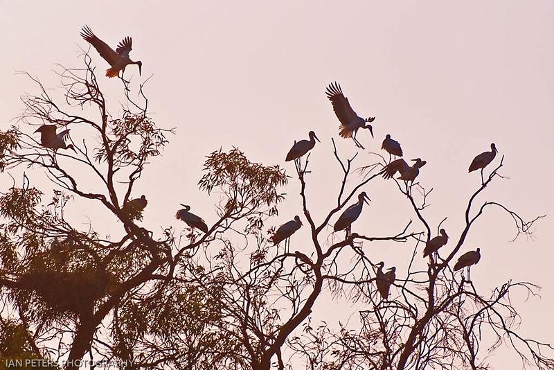 Stork Dawn