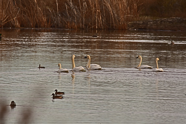 McNary Dam Area Swans, Etc._12-13-18