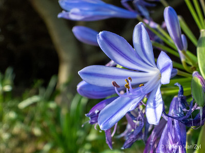 African Lily (Agapanthus africanus)