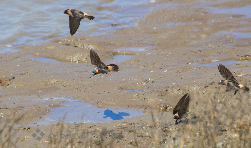 "Cliff Swallows Flying ~ I've never been able to photograph swallows in flight, as they fly so fast, and dart and swoop around so much.  At the ""mud hole"" they were flying in and out, and I had some change to capture them in flight."