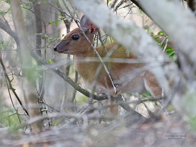 Suni (Neotragus moschatus)