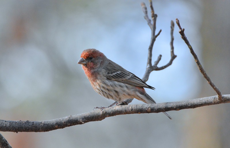 2016 xmas red headed bird .jpg