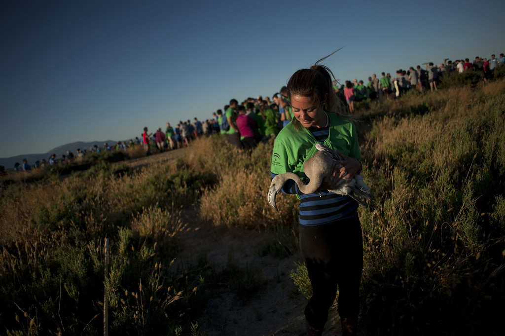 . A volunteer carries a flamingo chick at the Fuente de Piedra lake, 70 kilometres from Malaga, on August 10, 2013, during a tagging and control operation of flamingo chicks to monitor the evolution of the species. The lake, which is the most important breeding ground for flamingos in the Iberian Peninsula, is also a nature reserve and a haven for birds with over 170 different species recorded.  Jorge Guerrero/AFP/Getty Images