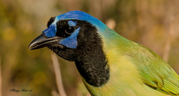 Green Jay Head Shot