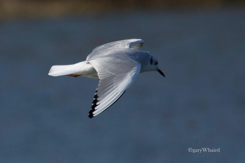 Winter Bonaparte's Gull