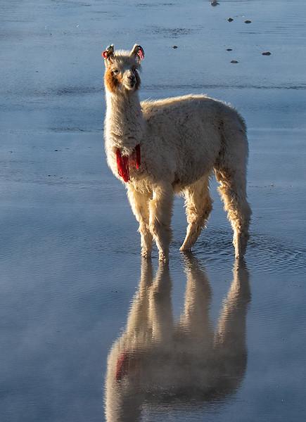 Lama in Aguas Caliente
