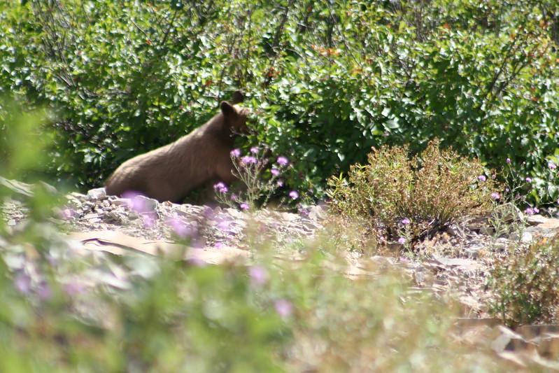 20110828 - 048 - GNP - Bear Cub Along Road By Many Glacier Hotel.JPG