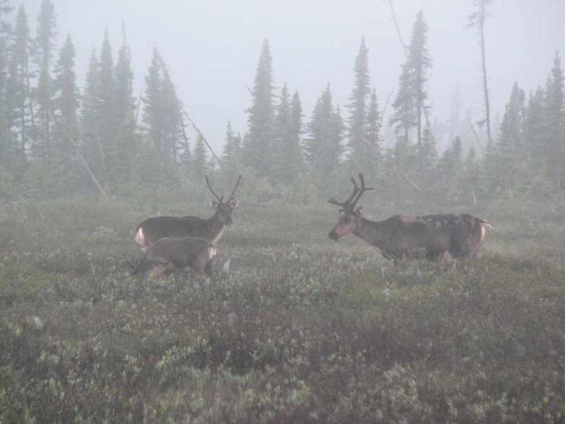 misty caribou.jpg