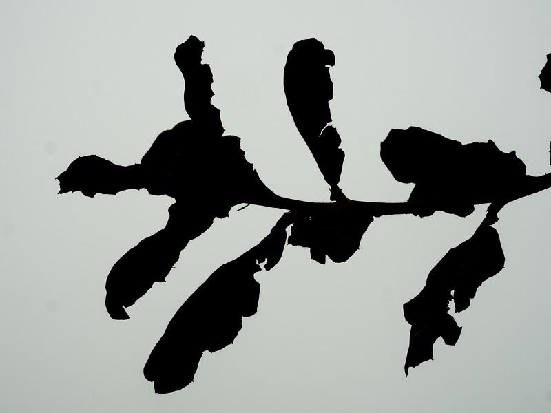 Quercus rugosa, netleaf oak
