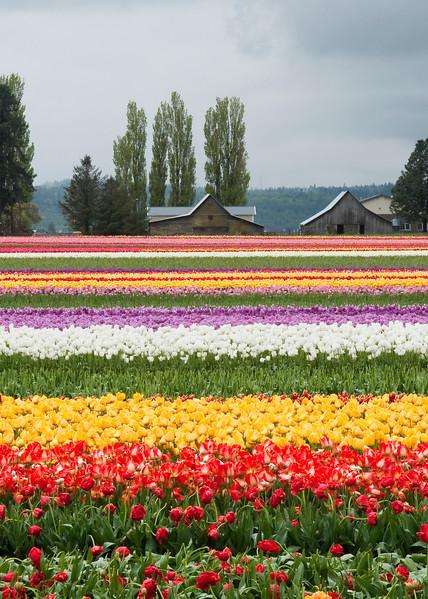Tulip barns.jpg