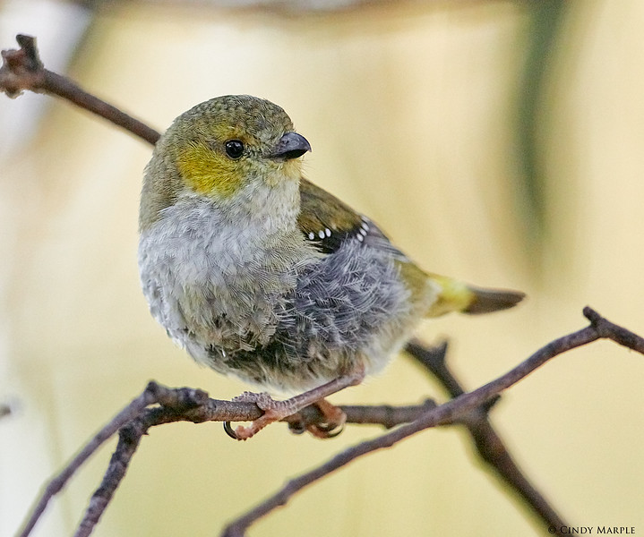40-spotted Pardalote