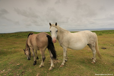 Wild Horses at The Gower